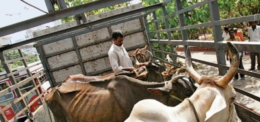 457498-beef-cow-slaughter