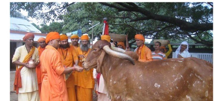 Aditya Yogi - feeding cows in UP